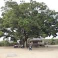 大きな楠の木です